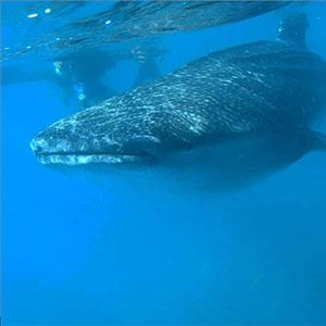 フィリピンセブ島スタディツアー自然体験ジンベイザメ